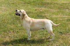 Labrador Lizenzfreies Stockfoto