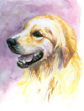 Labrador. Portrait of sweet,young labrador golden retriever.Picture I have painted by myself with watercolors Stock Photo