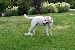 Labrador Fotografía de archivo