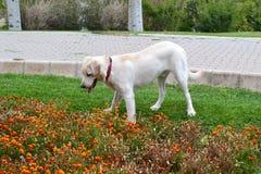 Labrador Fotografía de archivo libre de regalías