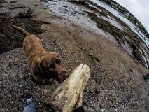 Labrador obrazy royalty free