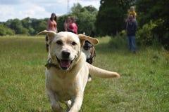 Labrador Imágenes de archivo libres de regalías
