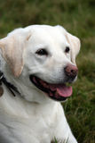 Labrador. Portrait of a beautiful and alert young Labrador Retriever taking a rest Royalty Free Stock Photo