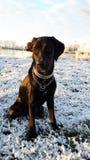 Labrador Photo stock