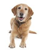 Labrador (7 années) photos libres de droits