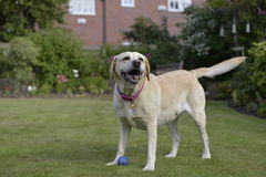 Labrador Image libre de droits