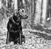 Labrador Stockbild