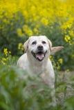 щенок labrador Стоковая Фотография RF