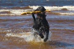 Free Labrador Royalty Free Stock Image - 8227286