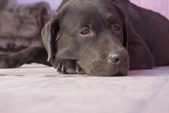 Labrador Stock Photography
