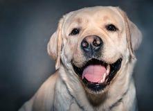 Labrador Arkivbilder