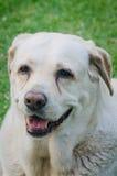 Labrador fotografia royalty free