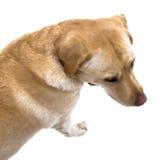 Labrador fotos de archivo libres de regalías