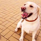 Labrador Foto de archivo libre de regalías