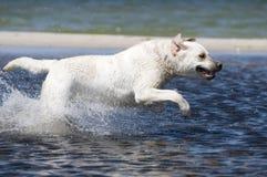 Labrador in actie stock foto