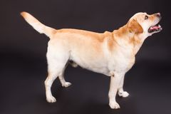 Labrador adorable se tenant sur le fond noir Image libre de droits