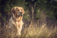 Labrador al aire libre Fotos de archivo
