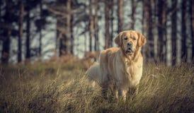 Labrador al aire libre Fotografía de archivo libre de regalías