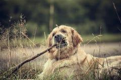 Labrador al aire libre Foto de archivo