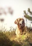Labrador al aire libre Imagen de archivo