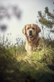 Labrador all'aperto Fotografie Stock Libere da Diritti