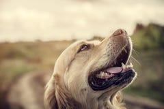 Labrador all'aperto Immagine Stock