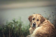 Labrador all'aperto Immagini Stock Libere da Diritti