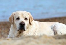 Labrador alla fine del ritratto del mare Fotografie Stock