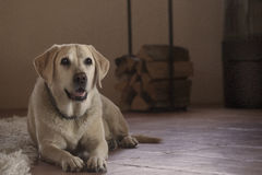 Labrador amarelo Imagem de Stock Royalty Free