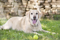 Labrador amarelo Fotografia de Stock Royalty Free