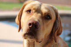Labrador amarelo Foto de Stock