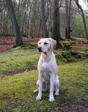 Labrador amarelo alerta Imagens de Stock Royalty Free