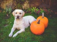 Labrador amarelo bonito que encontra-se para baixo na grama verde exterior com duas abóboras Imagem de Stock Royalty Free