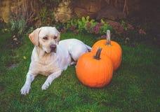 Labrador amarelo bonito que encontra-se para baixo na grama verde exterior com duas abóboras Fotos de Stock