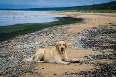 Labrador amarelo encontra-se na praia Imagens de Stock Royalty Free