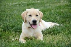 Labrador amarillo Fotografía de archivo libre de regalías