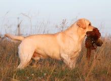 Labrador amarillo con el faisán Foto de archivo