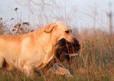 Labrador amarillo con el faisán Imagen de archivo libre de regalías