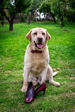 Labrador amarillo con guardar del bowtie Imágenes de archivo libres de regalías