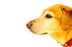 Labrador amarillo delante del fondo blanco con nieve en su nariz Fotografía de archivo