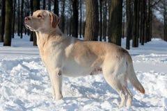Labrador amarillo en parque del invierno Imagen de archivo libre de regalías