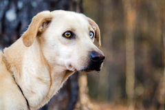 Labrador amarillo mezcló el perro de la raza con un ojo azul Foto de archivo libre de regalías