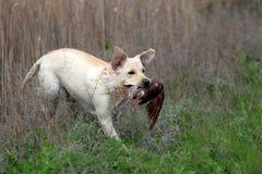 Labrador amarillo que lleva un pájaro Foto de archivo