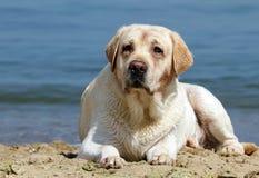 Labrador amarillo que pone en la playa Foto de archivo libre de regalías