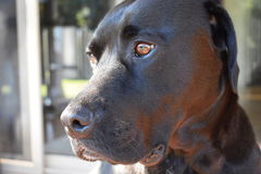 Labrador X. A Labrador x American Bulldog royalty free stock photography