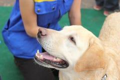 Labrador Ami vrai Image libre de droits
