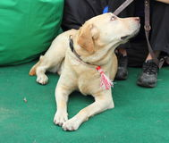 Labrador Ami vrai Image stock