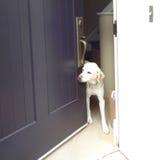 Labrador amichevole a Front Door Immagini Stock Libere da Diritti