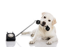 Labrador answering a call. Portrait of a labrador retriever holding a telefone with mouth