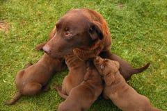 labrador aporter psia ściółka szczeni się aporteru Obraz Royalty Free